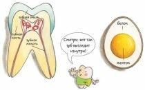 Строение зуба человека: схема, структура внутренняя и внешняя
